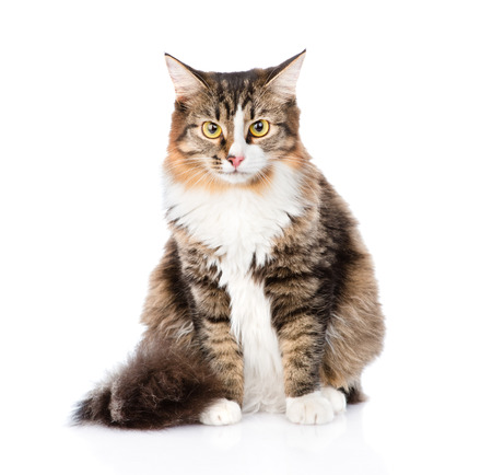 long haired: Siberian cat sitting in front and looking at camera. isolated on white background