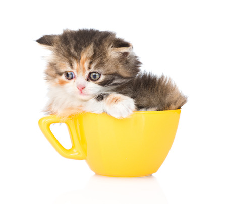 lop eared: sad kitten in large cup. isolated on white background
