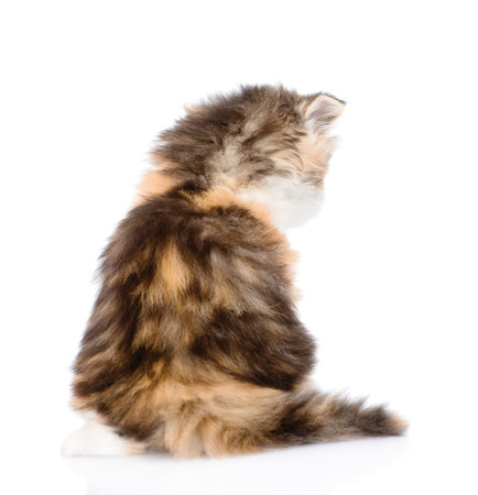 lop eared: Scottish kitten back view. isolated on white background Stock Photo