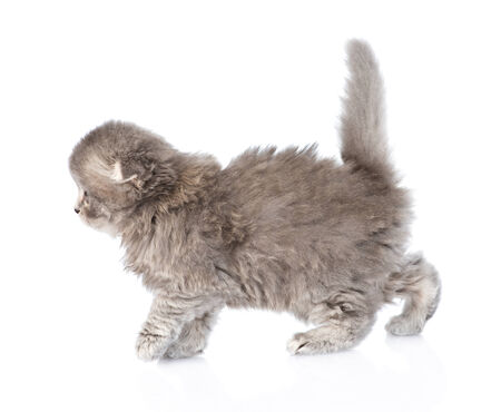 lop eared: Scottish kitten walking. isolated on white background Stock Photo
