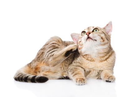 Domestic cat scratching.