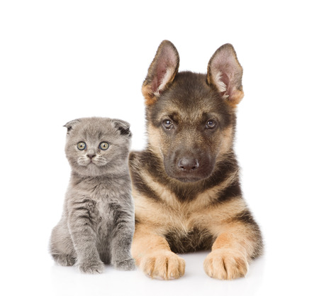 small scottish cat and german shepherd puppy dog looking at camera. isolated on white background photo