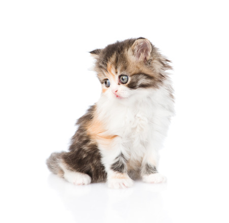 calico cat: Cute Scottish kitten looking away. isolated on white background