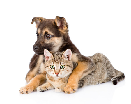 mixed breed dog embracing tabby cat. isolated on white background