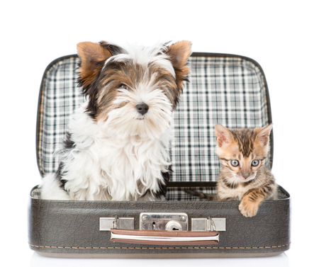 open suitcase: Biewer-Yorkshire terrier and bengal cat sitting in a bag. isolated on white background Stock Photo