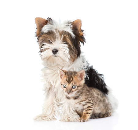 Small bengal cat and Biewer-Yorkshire terrier puppy sitting together. isolated on white background photo