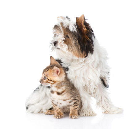 Biewer-Yorkshire terrier puppy and bengal kitten looking away. isolated on white background photo