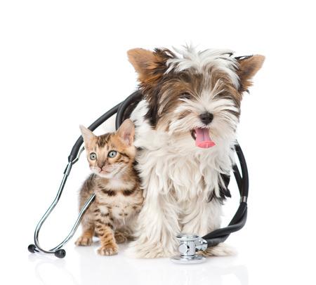 veterinario: Pequeño gato de bengala y cachorro terrier de Biewer Yorkshire con el estetoscopio en su cuello aislado en el fondo blanco Foto de archivo