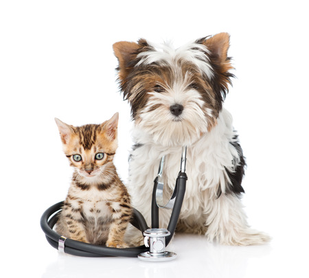 Small bengal cat and Biewer-Yorkshire terrier puppy with stethoscope on neck. isolated on white background