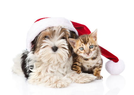 Bengal cat and Biewer-Yorkshire terrier puppy with red santa hat. isolated on white background Stock Photo
