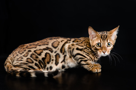 bengal: Bengal cat on dark background