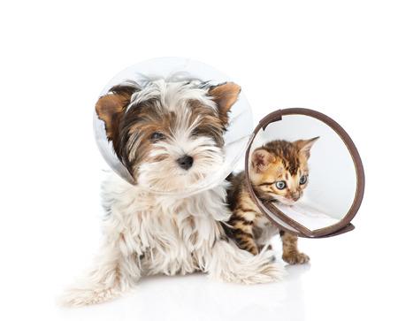 Biewer-Yorkshire 테리어 강아지와 깔때기 고리를 착용하고 벵골 새끼 고양이. 흰 배경에 고립 된