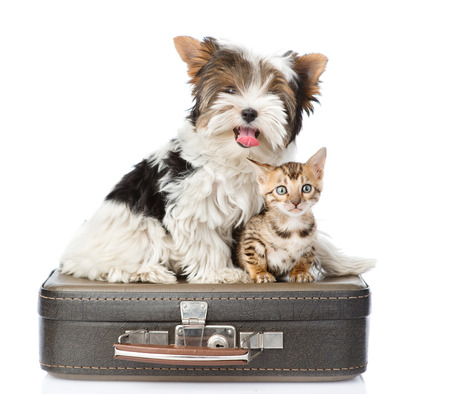 Biewer-Yorkshire terrier and bengal cat sitting on a bag. isolated on white background photo