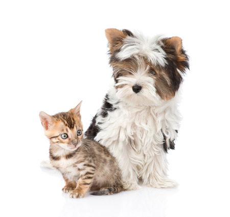 Biewer-Yorkshire terrier puppy and bengal kitten sitting together. isolated on white background photo
