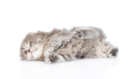 lop eared: playing scottish kitten. isolated on white background Stock Photo