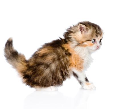 Scottish kitten sitting in profile. isolated on white background photo
