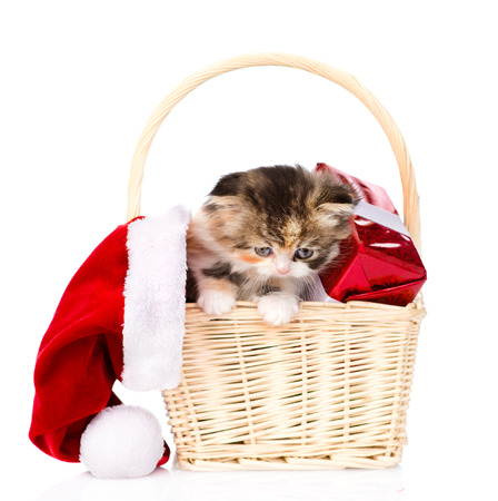 lop eared: small kitten with red hat and gift in basket. isolated on white background