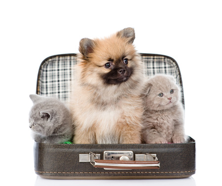 spitz puppy and two scottish sitting in a bag. isolated on white background photo