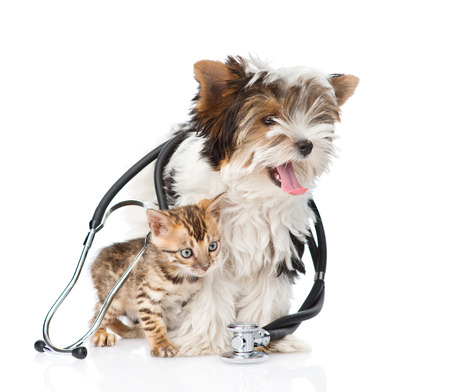 Tiny bengal cat and Biewer-Yorkshire terrier puppy with stethoscope on their neck.
