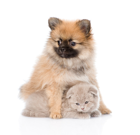 tiny spitz puppy hugging scottish kitten . photo