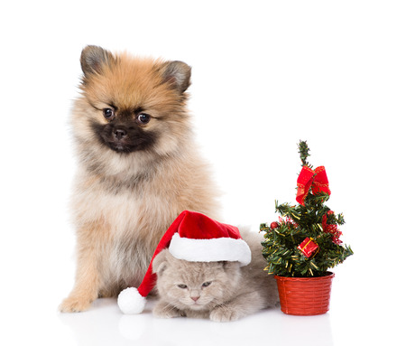tiny spitz puppy and scottish kitten with santa hat and christmas tree.  photo