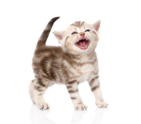 子猫のニャーと鳴きます。白い背景で隔離