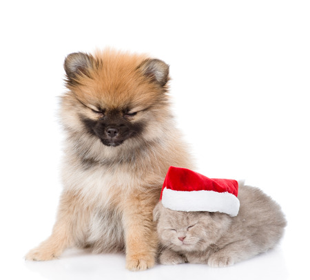 tiny spitz puppy and scottish kitten with santa hat sleep together. isolated on white background photo