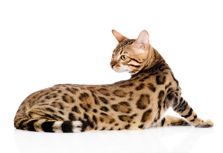 prionailurus: adult Bengal cat looks back. isolated on white background