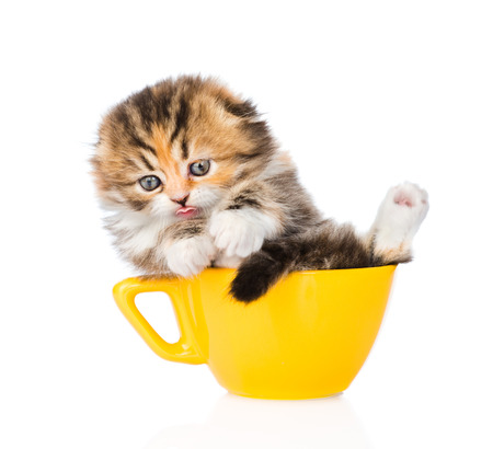 calico cat: Funny Scottish kitten in large cup. isolated on white background Stock Photo