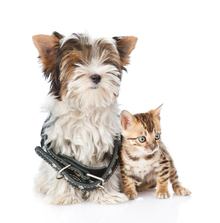 Bengal kitten and Biewer-Yorkshire terrier puppy with collar sitting together. isolated on white background photo
