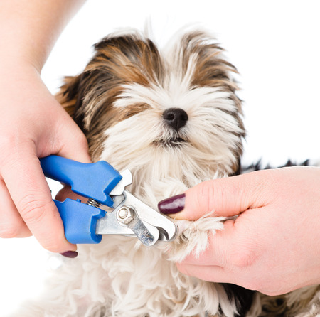 vet cutting dog toenails. isolated on white background 免版税图像