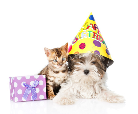 bengal cat and Biewer-Yorkshire terrier puppy with birthday hat and gift box. isolated on white background