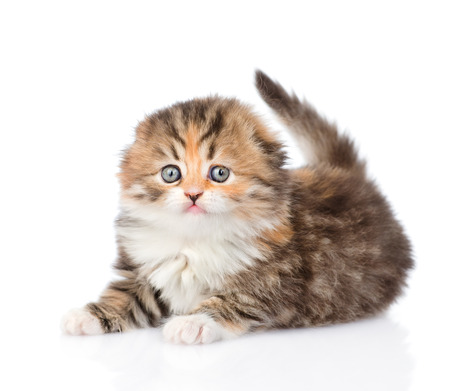 lop eared: Scottish kitten. isolated on white background Stock Photo