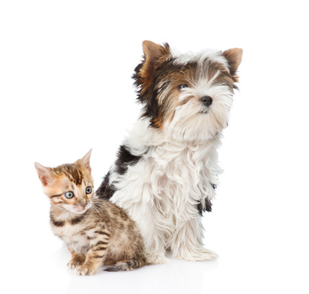 Bengal kitten and Biewer-Yorkshire terrier puppy sitting together. isolated on white background photo