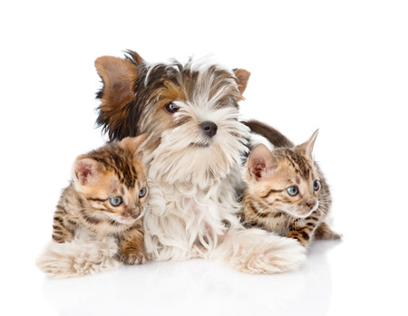 Biewer-Yorkshire terrier puppy and two bengal kittens. isolated on white background photo