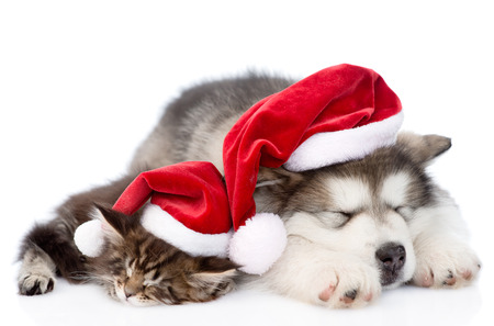 alaskan malamute puppy and maine coon kitten with red santa hat sleeping together. isolated on white background Stock Photo