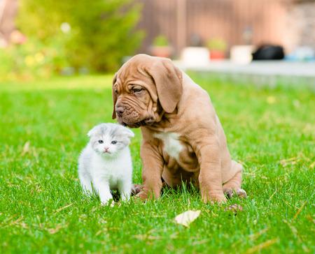 sniffing: Bordeaux puppy dog sniffing newborn kitten on green grass Stock Photo