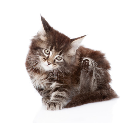 fleas: little maine coon cat scratching isolated on white background