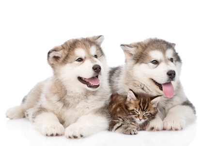 two alaskan malamute dogs and maine coon cat together. isolated on white background photo
