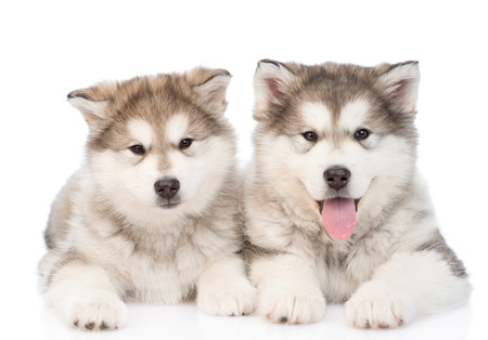 alaskan: two alaskan malamute puppies. isolated on white background Stock Photo