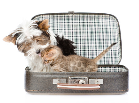 sniff dog: Biewer-Yorkshire terrier dog kissing bengal cat in open bag. isolated on white background