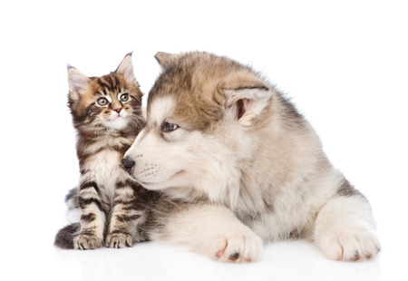 Alaskan Malamute chien renifler petite maine coon chat. isolé sur fond blanc Banque d'images - 35741775