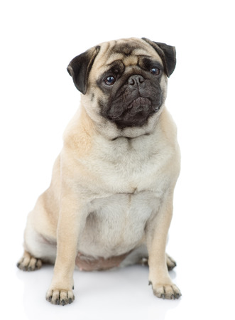 carlin: pug puppy sitting in front. isolated on white background Stock Photo