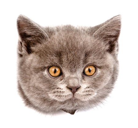 above head: head cat in paper side torn hole. isolated on white background