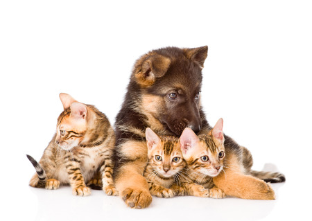 prionailurus: german shepherd dog and bengal kittens together. isolated on white background Stock Photo