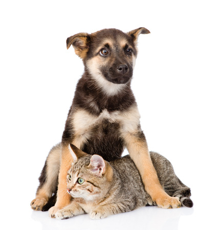 mixed breed dog embracing tabby cat. isolated on white background photo