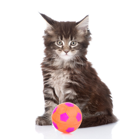 maine cat: Small maine coon cat with football. isolated on white background