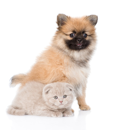 Tiny spitz dog sitting with scottish kitten together. isolated on white background photo