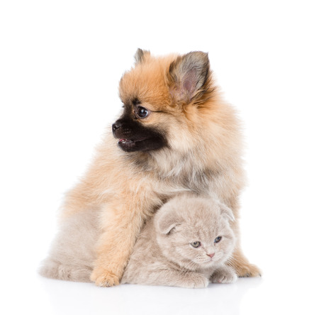 tiny spitz puppy hugging scottish kitten . isolated on white background photo