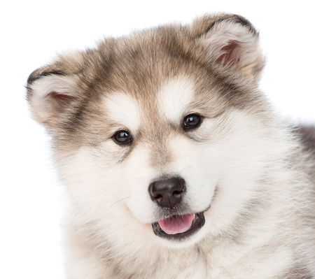 alaskan: closeup portrait alaskan malamute puppy dog. isolated on white background Stock Photo